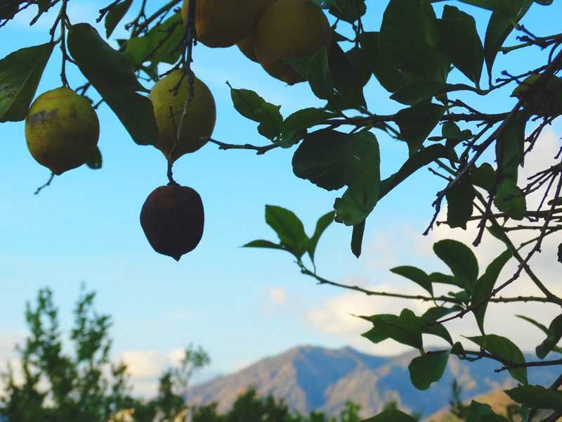 Lemon Tree In Pinos Del Valle, The Lecrin Valley