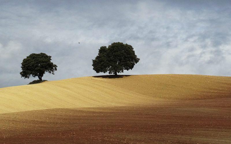 Our new landscape, corn fields oak trees